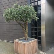 Olijfboom buiten