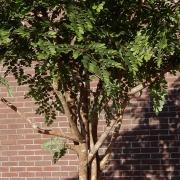 acacia bush detail